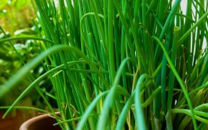 Herbs - Chives