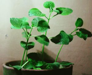 Herbs - Oregano